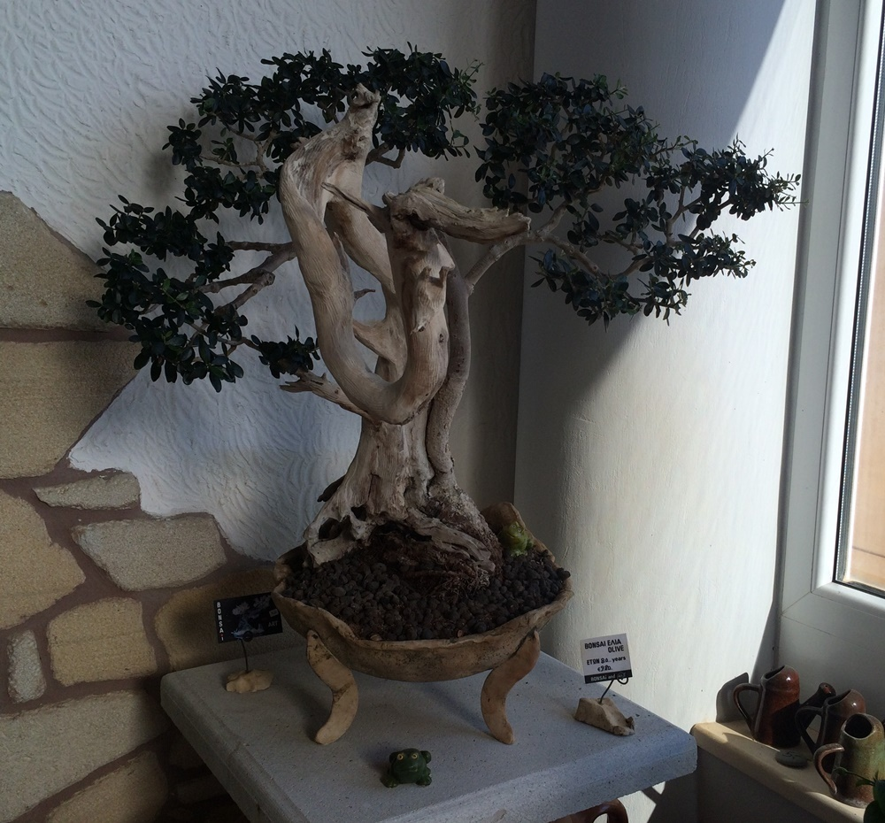 bonsai olivenbaum ein st ck kreta. Black Bedroom Furniture Sets. Home Design Ideas