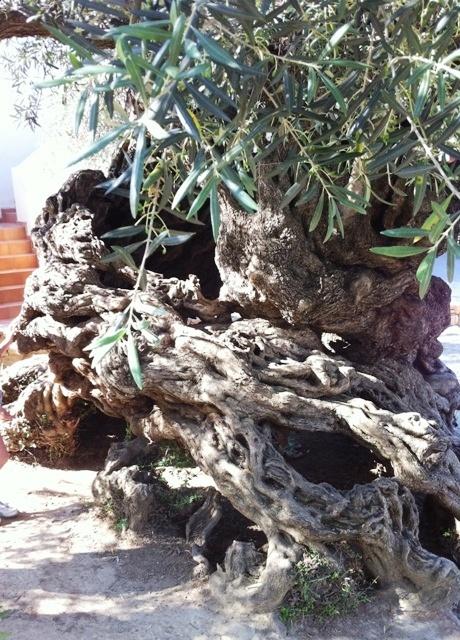 ltester olivenbaum der welt 5000 jahre alt. Black Bedroom Furniture Sets. Home Design Ideas