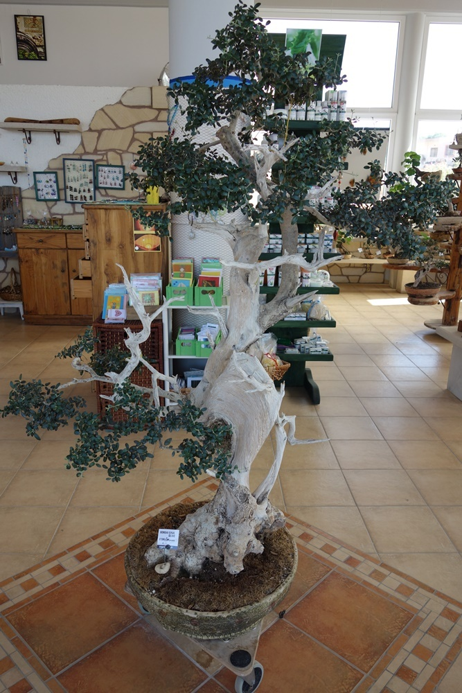 bonsai olivenbaum ein st ck kreta. Black Bedroom Furniture Sets. Home Design Ideas